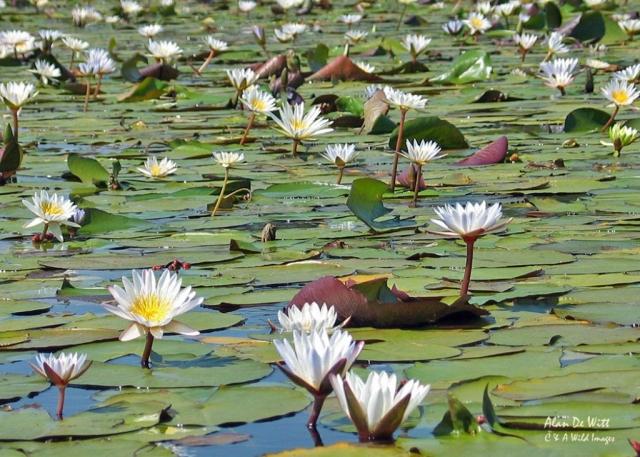Okavango  lilies