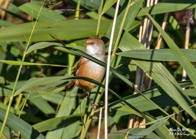 Bearded Tit at Titchwell