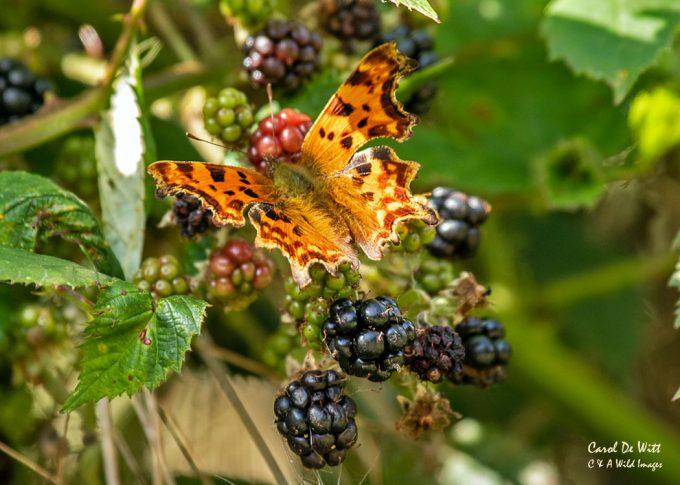 Comma butterfly feeding on blackberries
