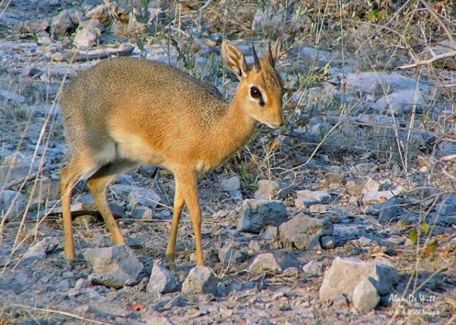 DiK Dik in Etosha National Park