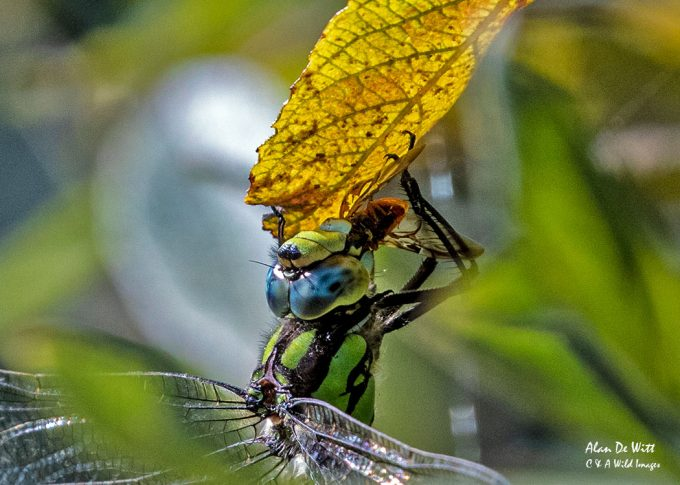 Southern Hawker feeding on a ladybird