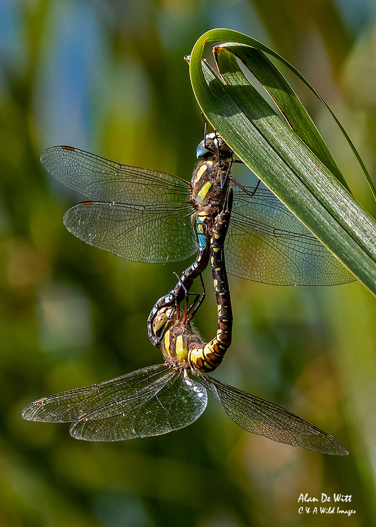 Southern Hawkers mating