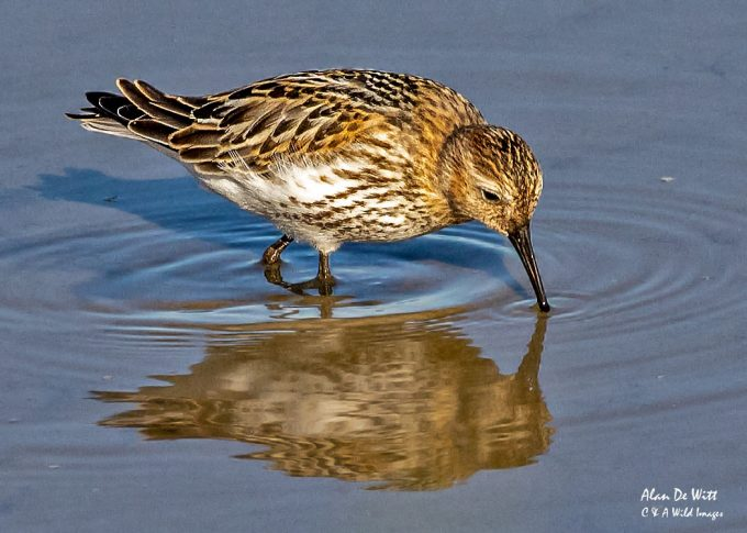 Dunlin on the freshwater Marsh at Titchwell