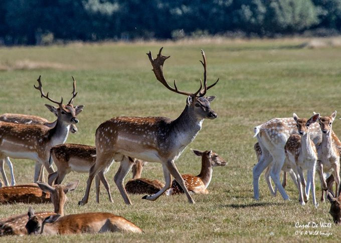 Fallow Deer Buck gather its Does at Holkham Hall