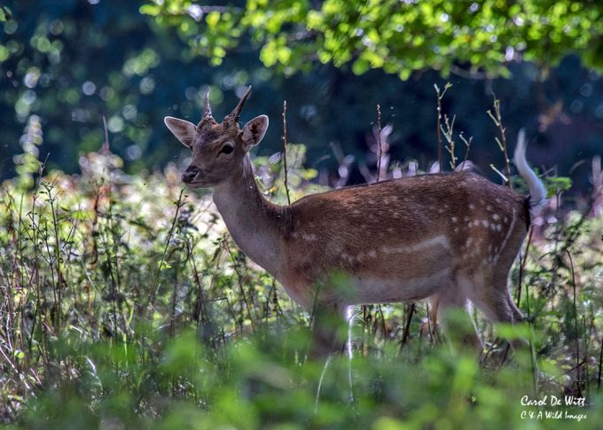 Young Fallow Deer Buck at Holkham Hall