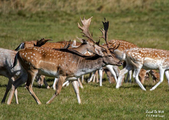 Fallow Deer Buck at Holkham Hall
