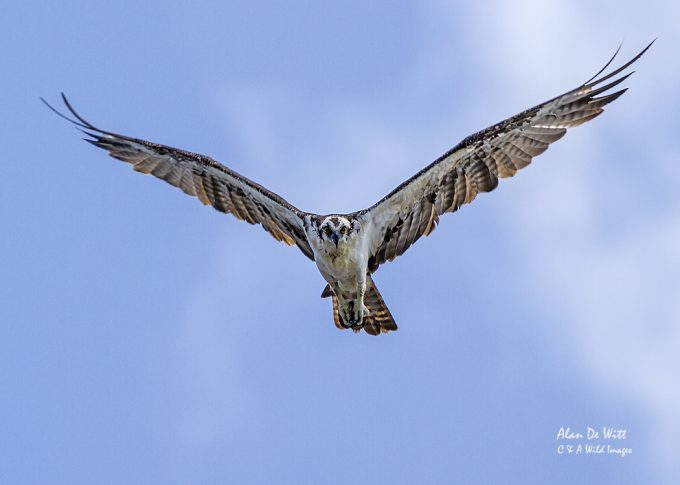 Osprey over the slough at Lackford Lakes
