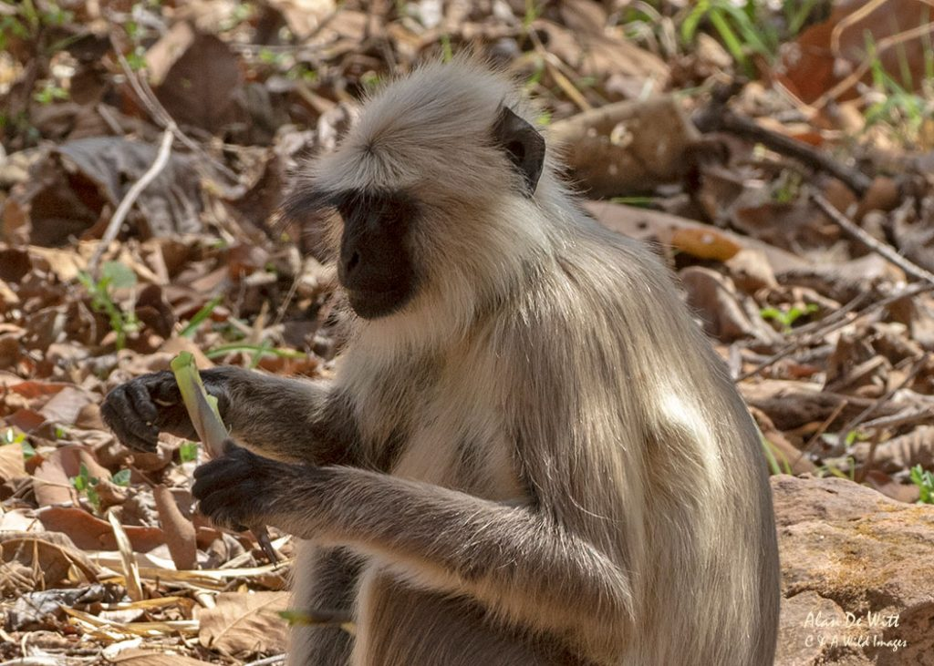 Southern Plains Gray Langur in Satpura NP