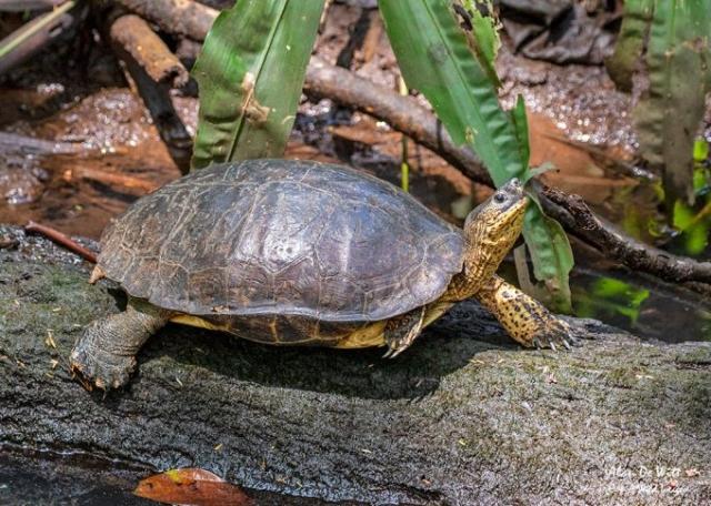 Black River Turtle