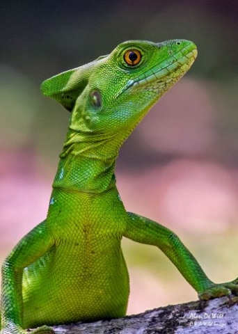 Female Green Basilisk Lizard