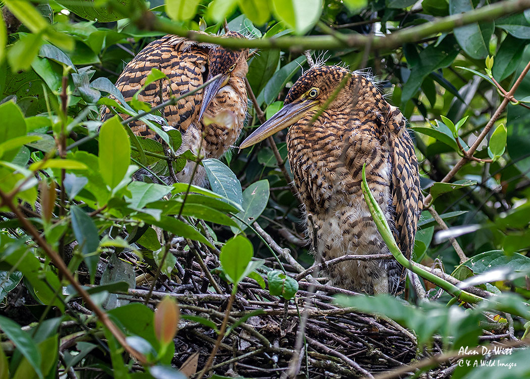 Juvenile Rufescent Tiger Heron chicks