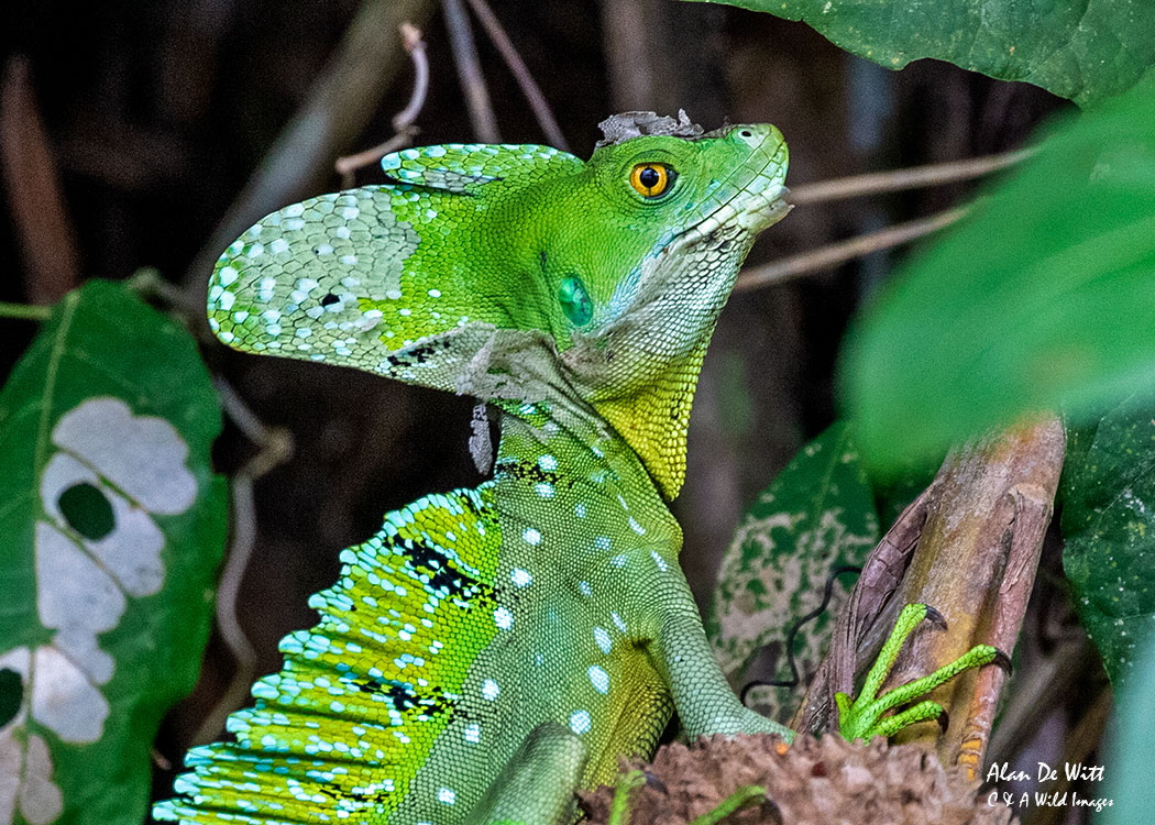 Male Green Basilisk Lizard