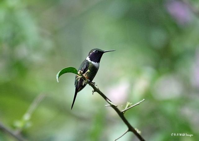 Amethyst-throated Sunangel (Ecuador)