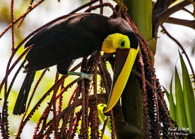 Black Mandibled Toucan