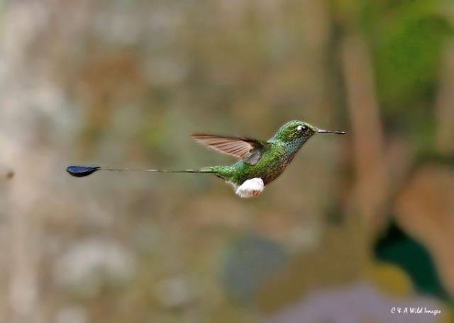 Booted-Raquettail (Ecuador)
