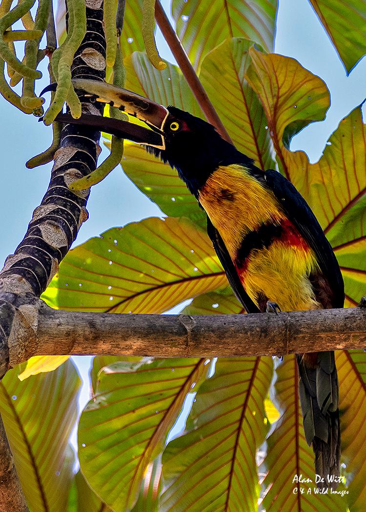 Collarred Aracari