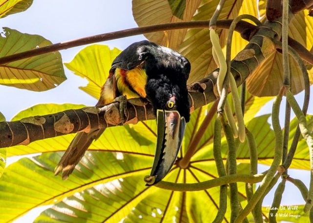 Collarred Aracari