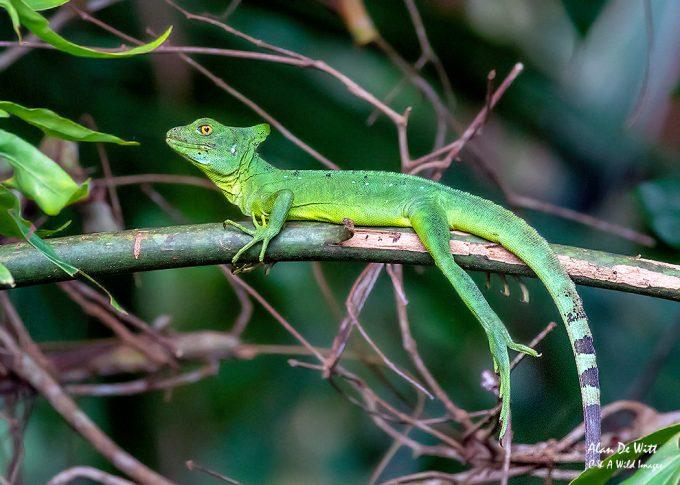 Female Green Basilisk Lizard in Costa Rica
