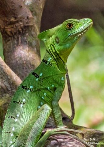 Female Green Basilisk Lizard