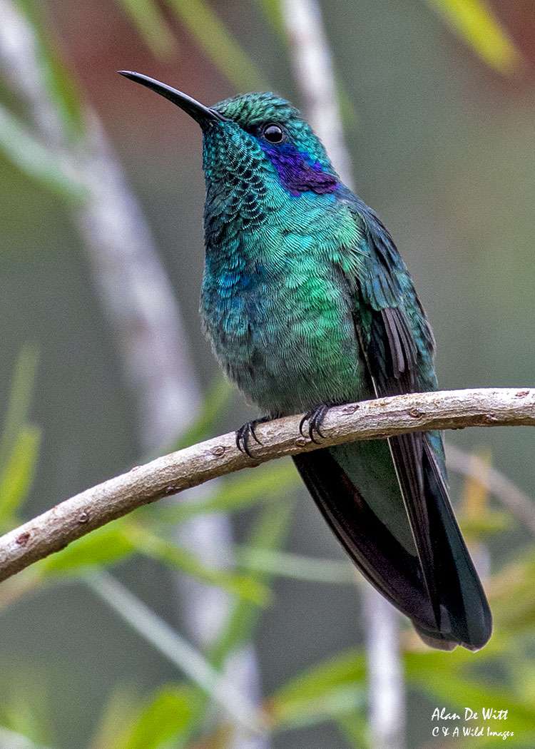 Lesser Violetear (Green Violetear)