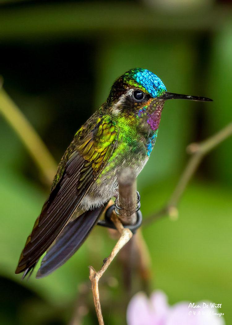 Purple-throated Mountain-gem male