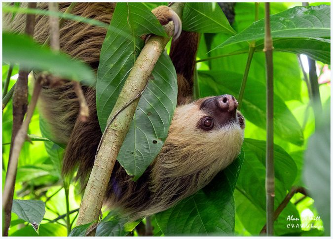Two-Toed Sloth unusually out in the daylight