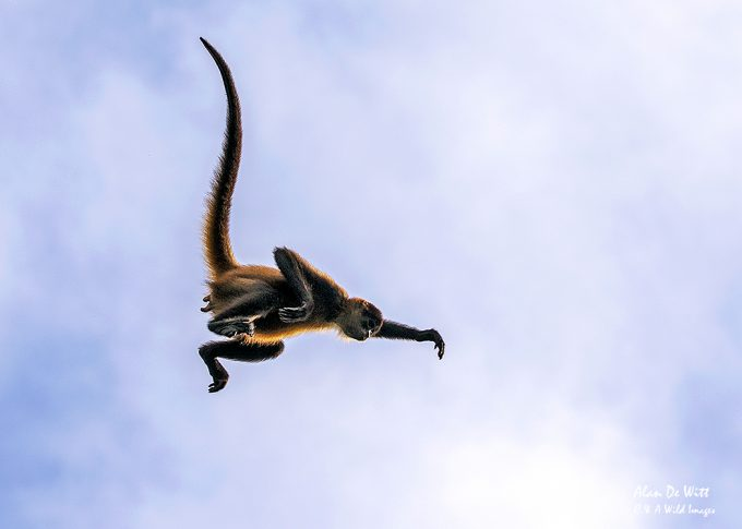 Female spider monkey leaping the river