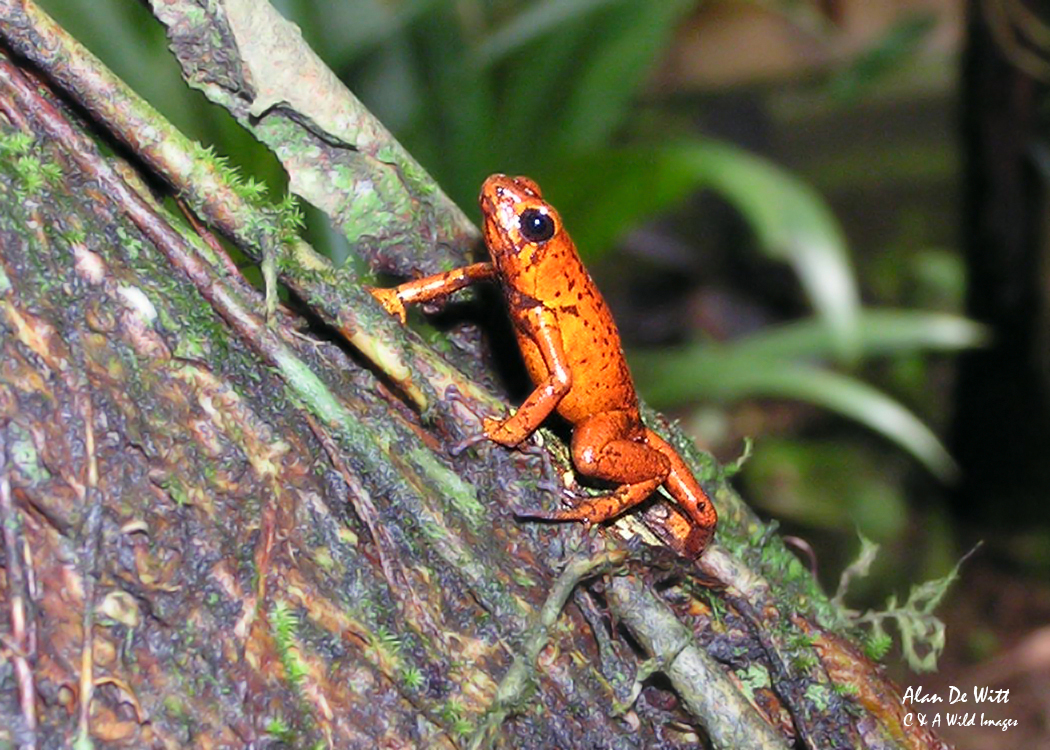 Strawberry poison-dart frog in Tortuguero National Park