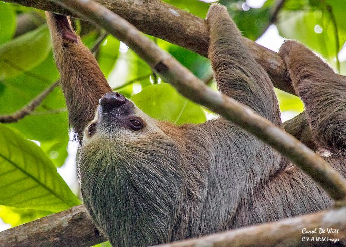 Three-Toed Sloth moving high in the forest canopy