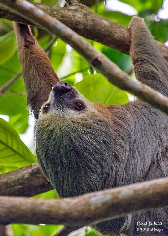 Three-toed Sloth in Cahuita National Park