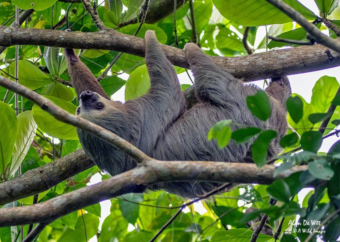 Three-toed Sloth hanging around