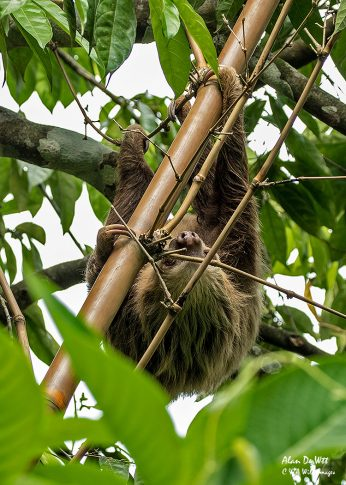 Two Toed Sloth on its way down