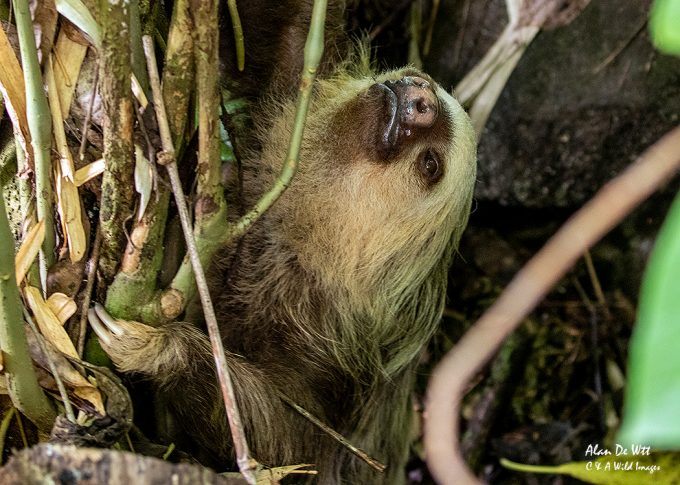 Two-toed Sloth on the ground for its weekly poo