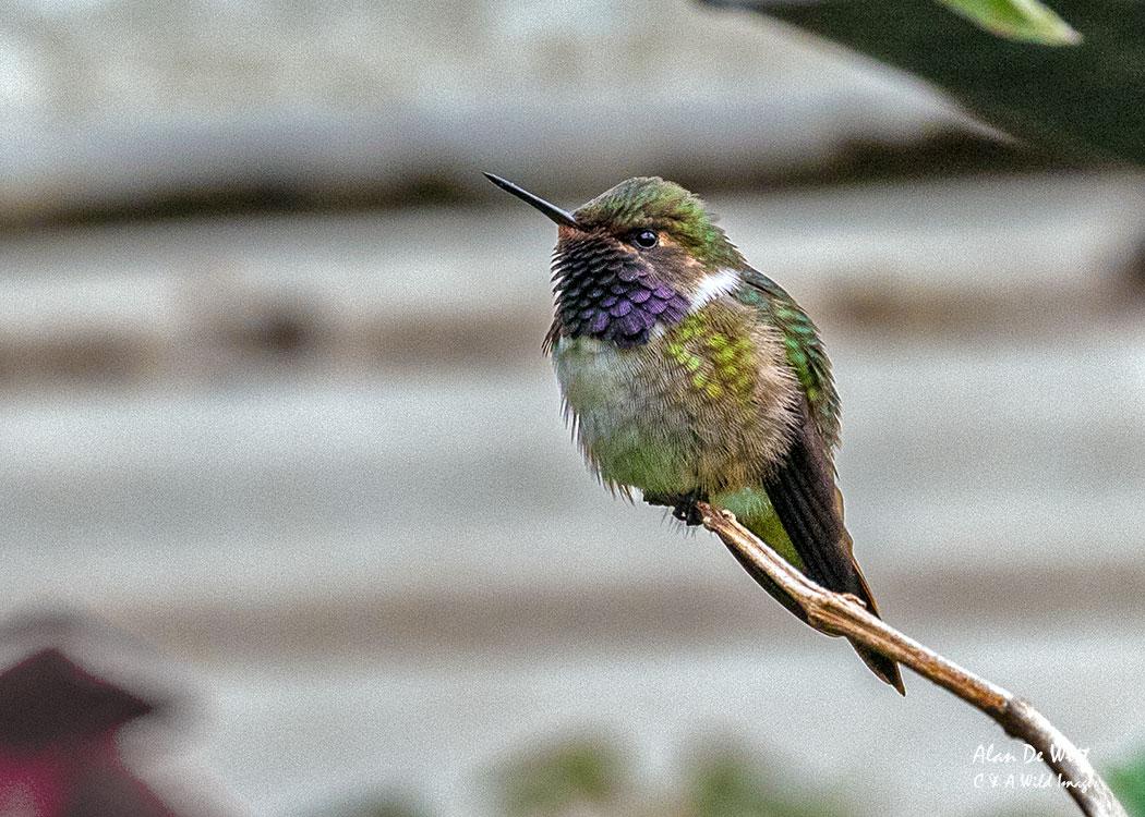 Male Volcano Hummingbird