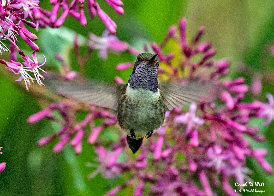 Volcano Hummingbird feeding