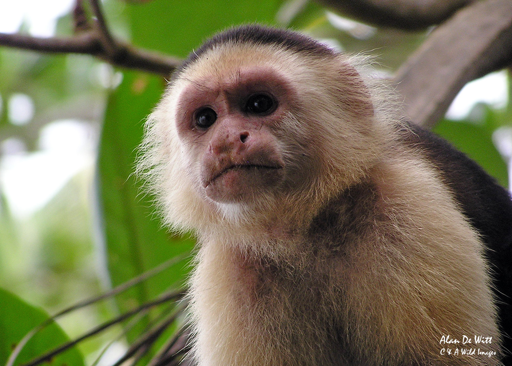 White Faced Capuchin in Tortuguero National Park