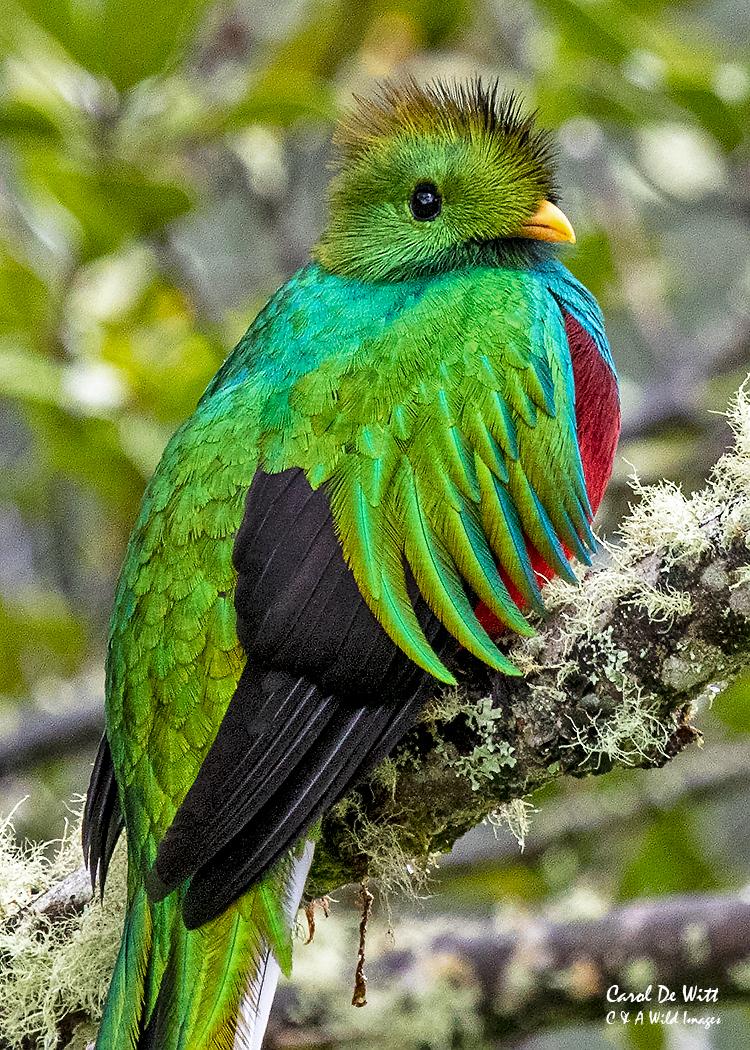 Resplendent Quetzal male