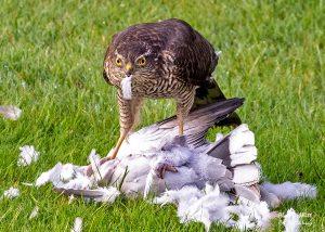 Sparrowhawk visiting our Norfolk Garden