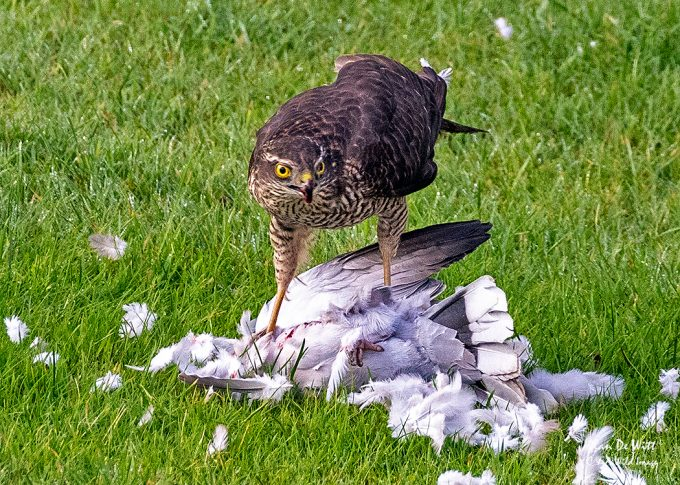 Sparrowhawk with Dove