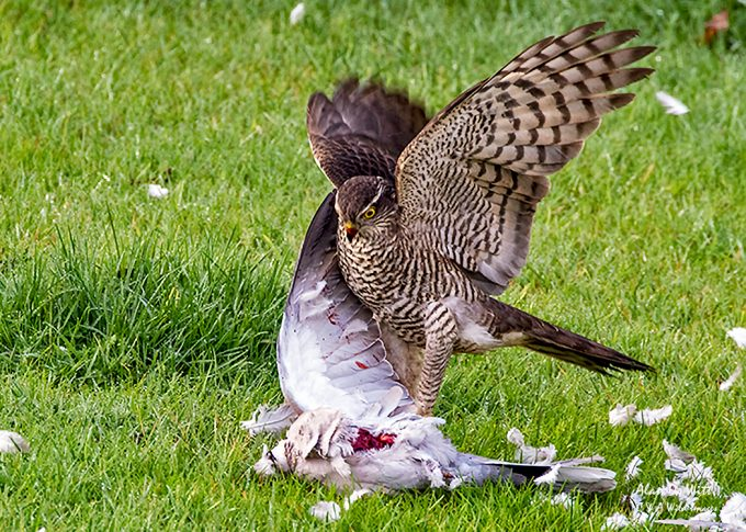 Sparrowhawk feeding on live Dove