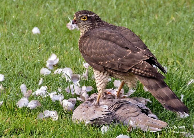 Sparrowhawk plucking the Dove