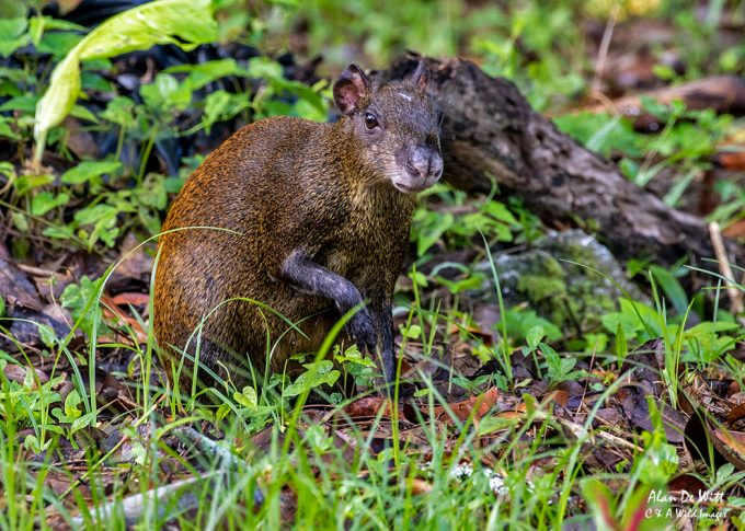 Agouti in the grounds of Atlantida lodge near Cahuita National Park