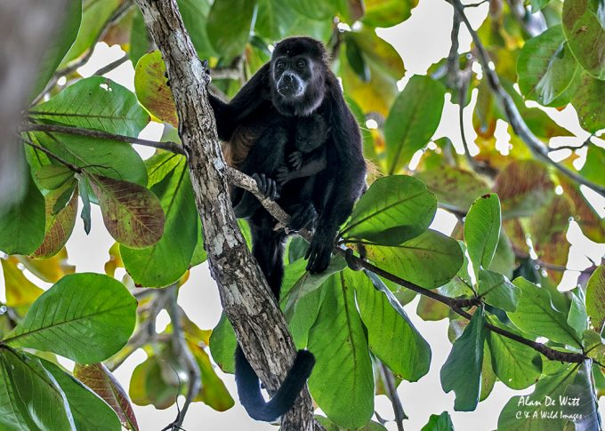 Female Howler Monkey with young in Cahuita National Park