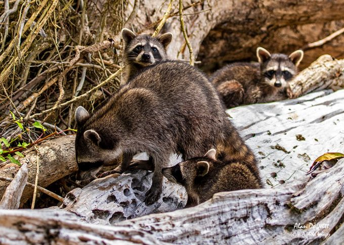Raccoon family in Cahuita National Park