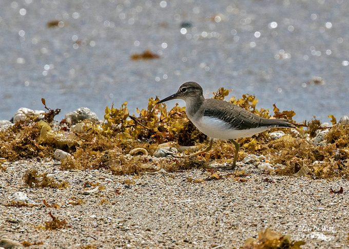 Spotted Sandpiper in Cahuita National Park.
