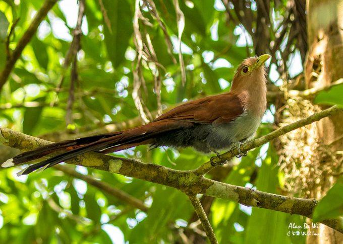 Squirrel Cuckoo in Cahuita National Park