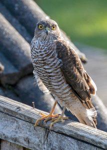 Female Sparrowhawk in our Norfolk Garden Norfolk
