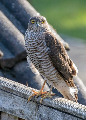 Female Sparrowhawk in our Norfolk Garden Norfolk