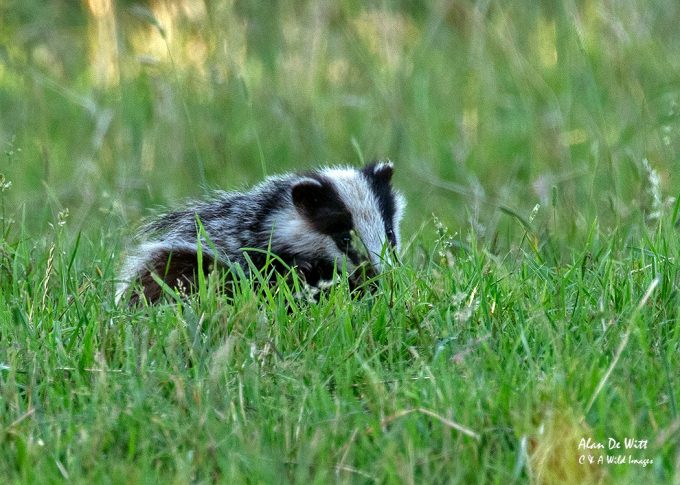 Badgers cub on the hunt for worms