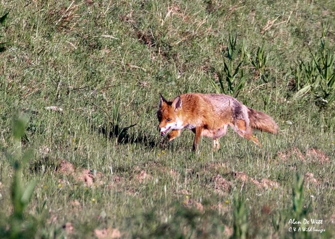 Vixen out hunting Rabbits